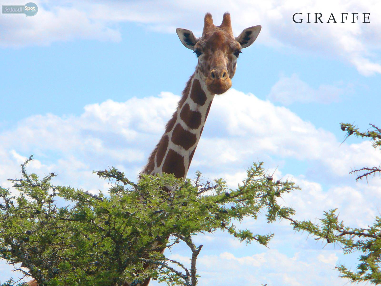 Giraffe Wallpapers – Animal Spot