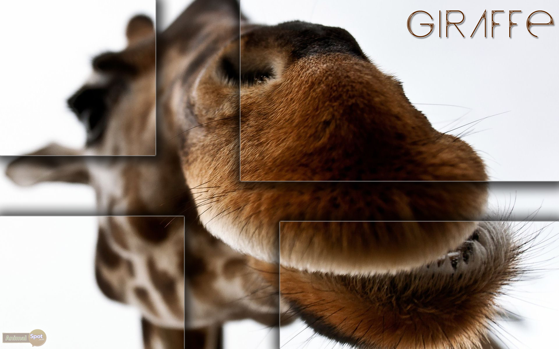 Giraffe Wallpapers Animal Spot