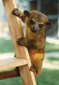Kinkajou Ears and Eyes