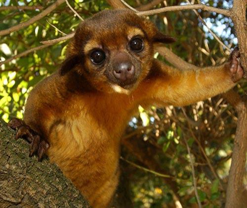 an overview of kinkajou animal in mexico Read about potos flavus (kinkajou) on the animal diversity web.