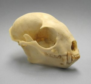 Kinkajou Skull