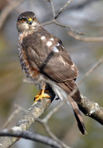 Pictures of Sharp Shinned Hawk