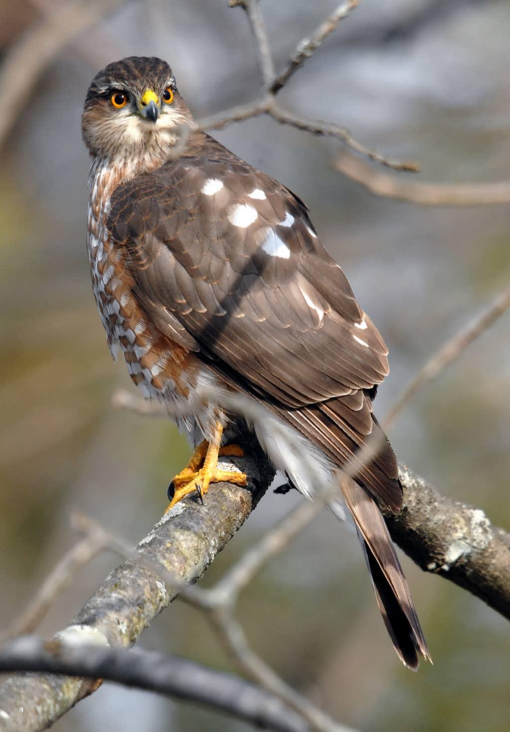 coopers hawk in flight