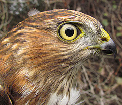Sharp Shinned Hawk Bill