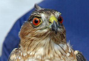 Sharp Shinned Hawk Eyes
