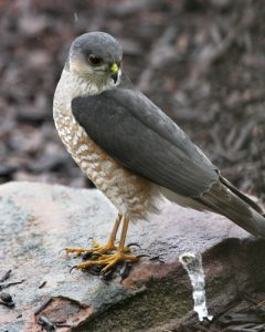 Sharp Shinned Hawk Feet