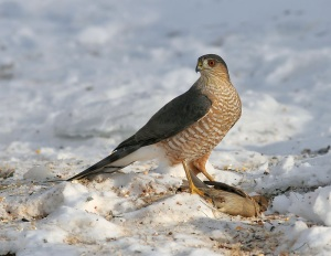 Sharp Shinned Hawk Images