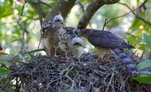 Sharp Shinned Hawk Nest