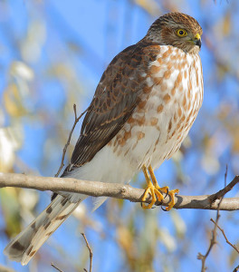 Sharp Shinned Hawk Photos