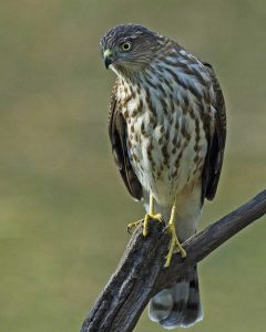 Sharp Shinned Hawk Pictures