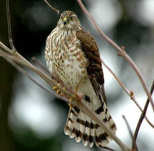 Sharp Shinned Hawk Tail