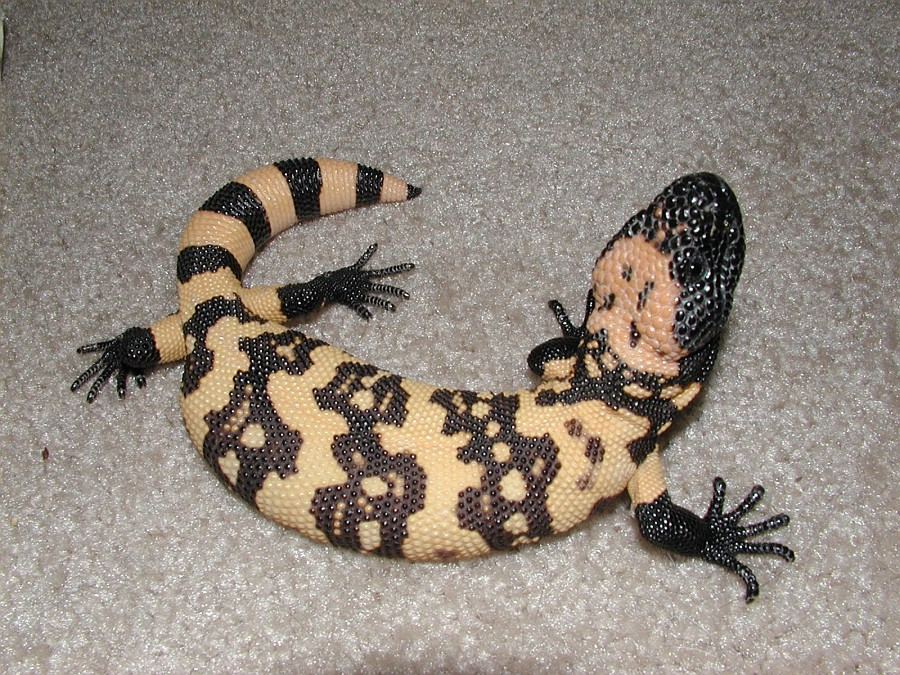 Gila Monster Facts, Habitat, Adaptations, Pet Care, Pictures