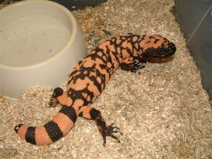 Gila Monster Baby