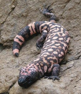 Gila Monster Images