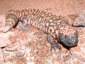 Gila Monster Lizard