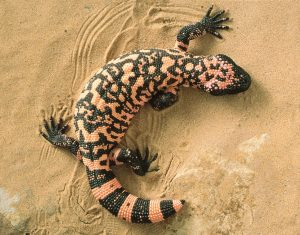 Gila Monster Photos