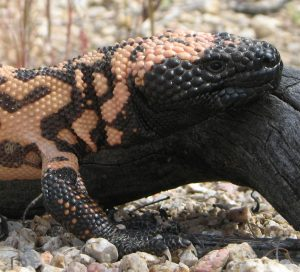 Gila Monster Pictures