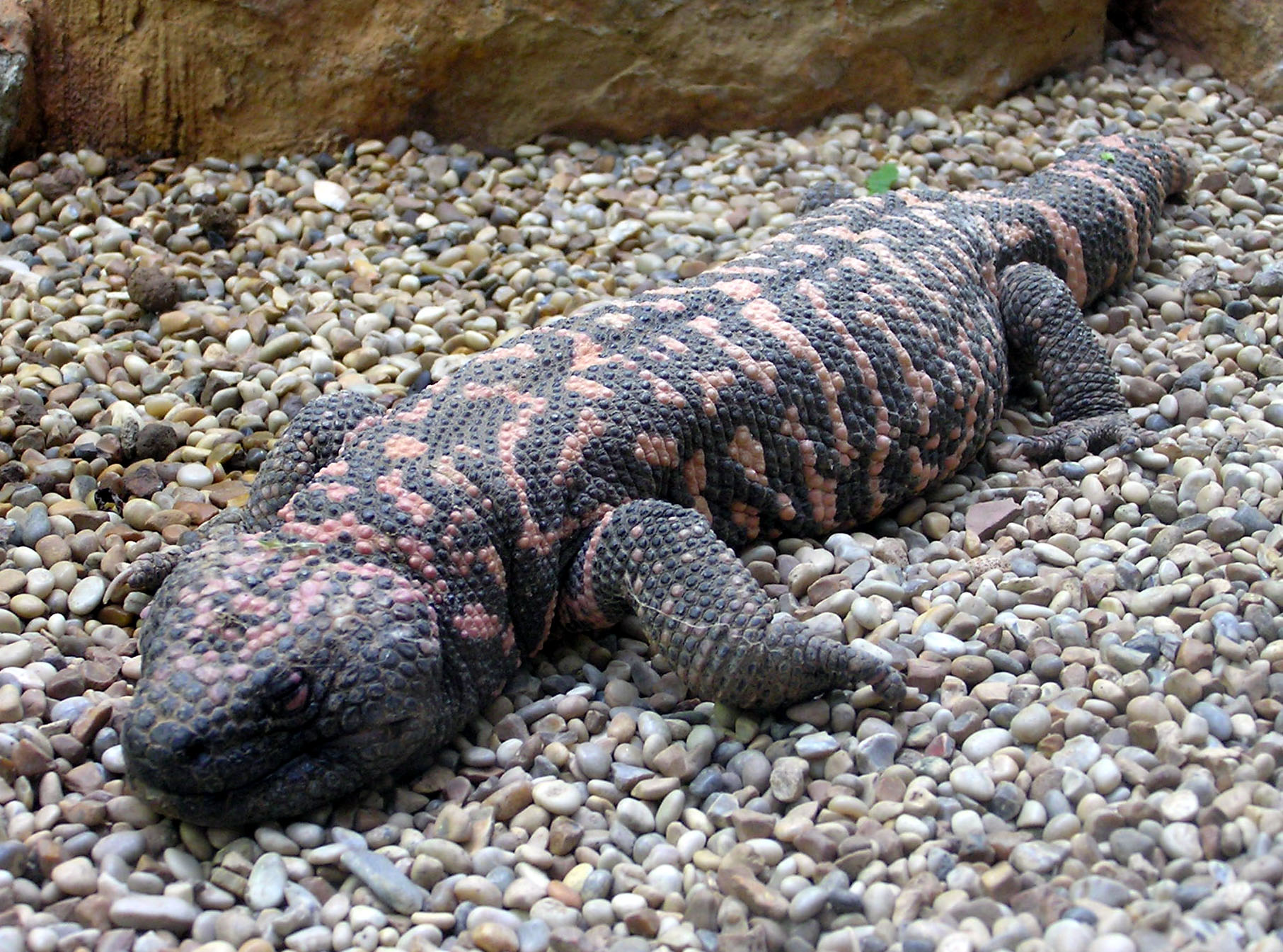 Gila Monster Facts Habitat Adaptations Pet Care Pictures