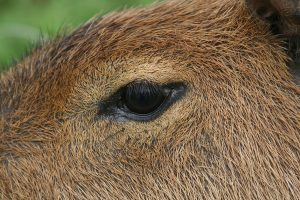Capybara Eye