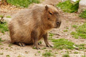 Capybara Legs