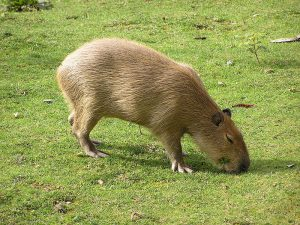 Capybara Photos