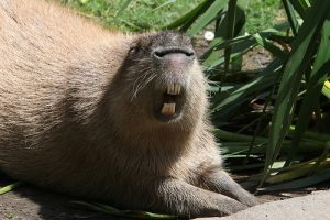 Capybara Teeth