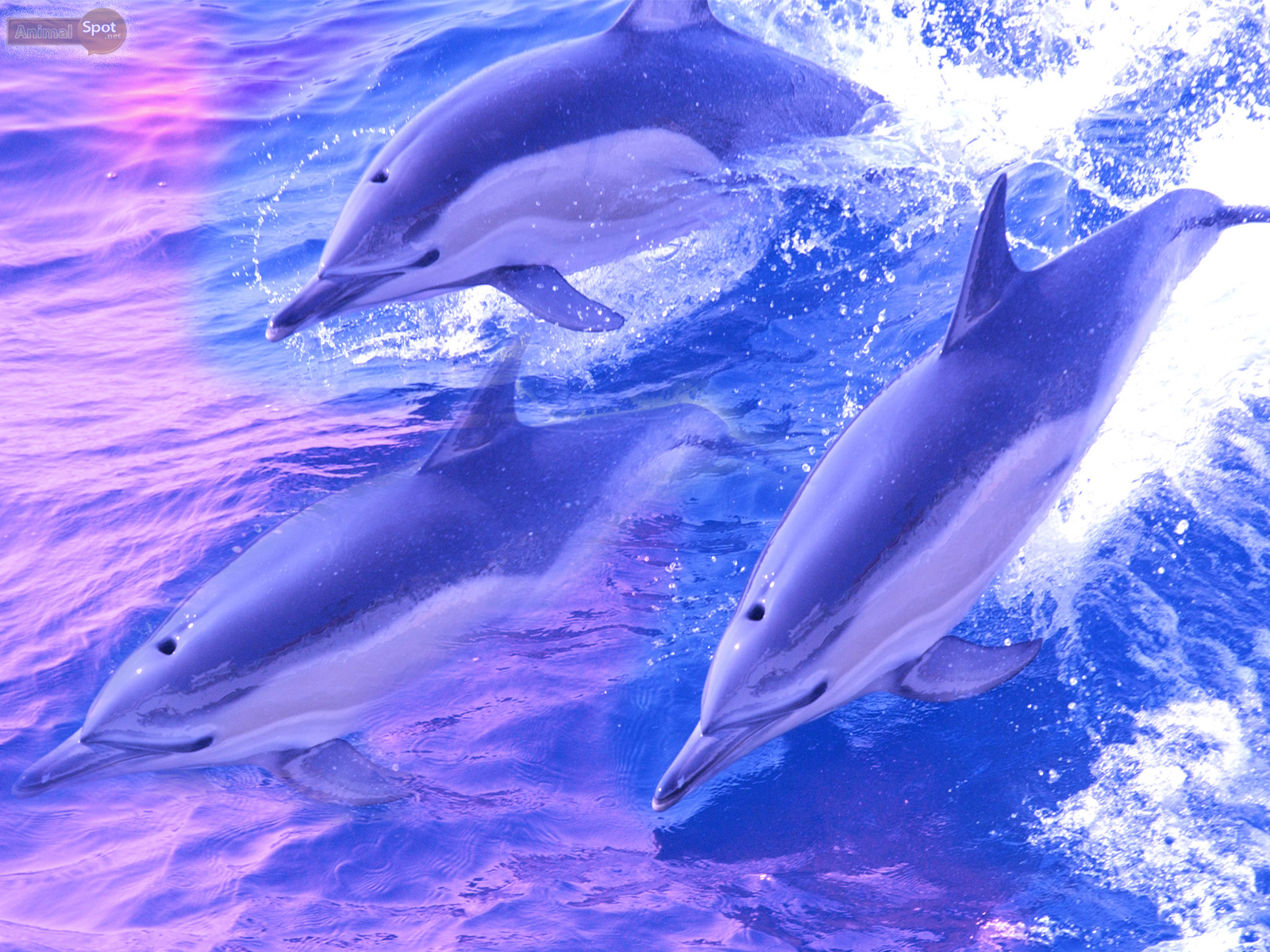 dolphin wallpapers � animal spot