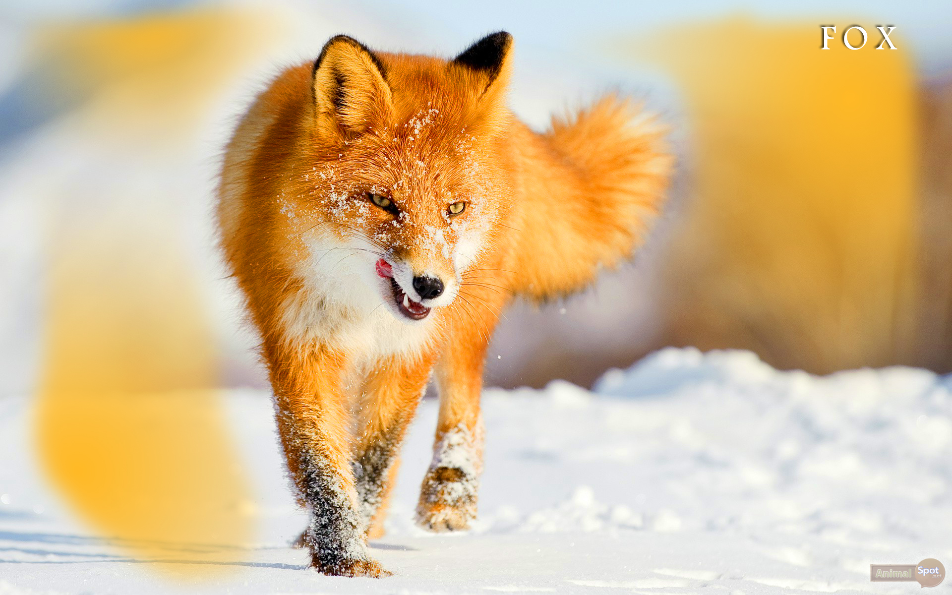 Fox Wallpapers on Animals And Their Habitats