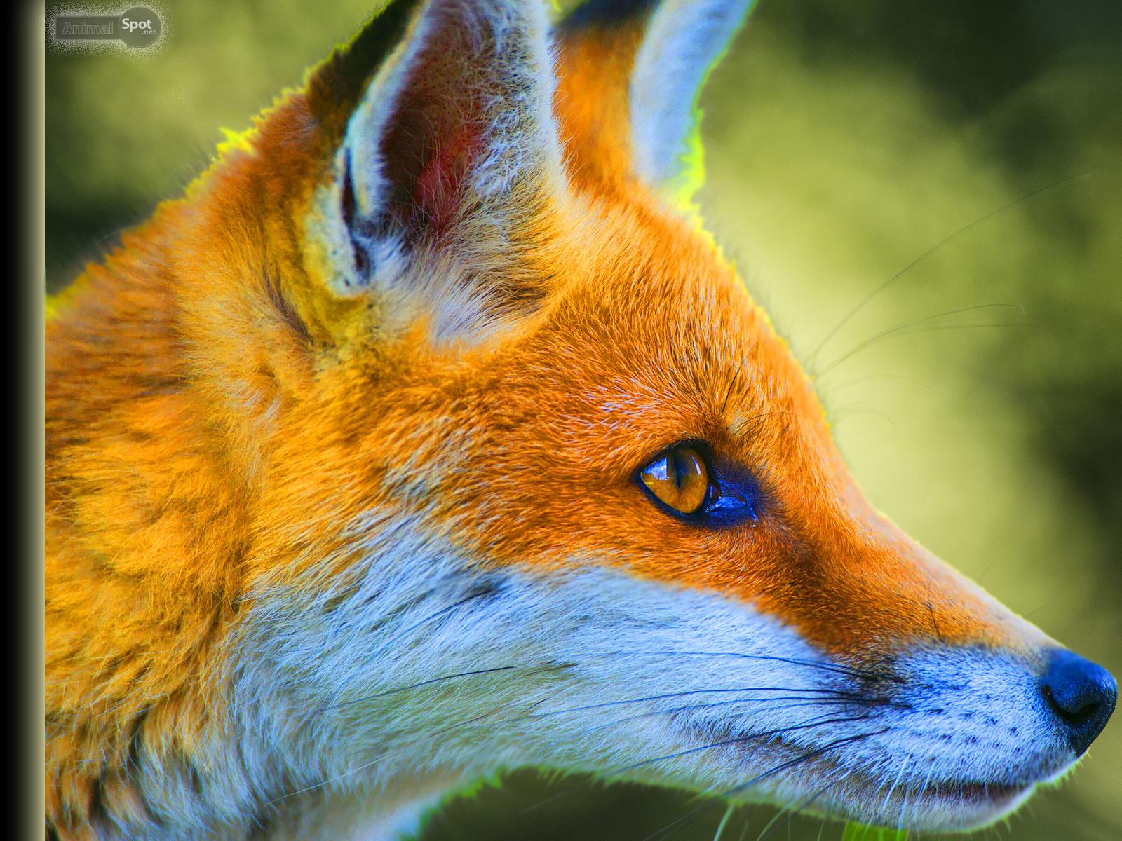 Fox Wallpapers