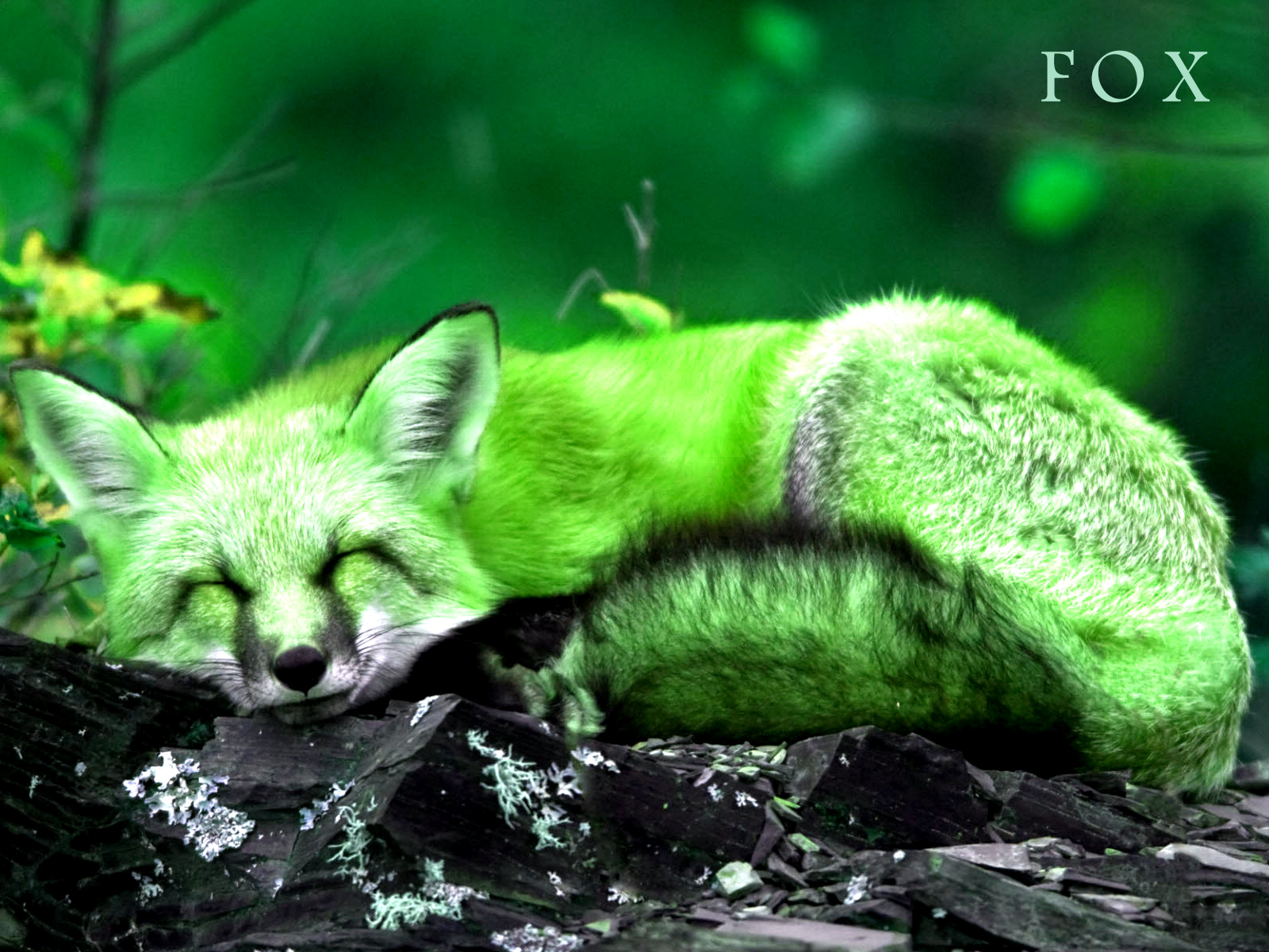 Fox Wallpapers Animal Spot
