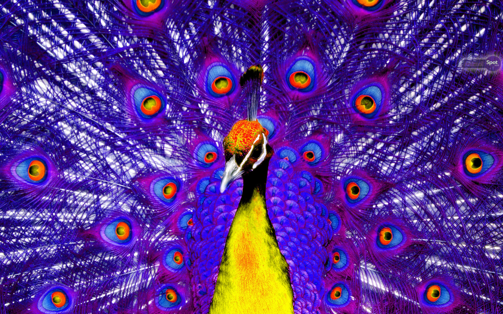 Best Peacock Wallpapers And Backgrounds