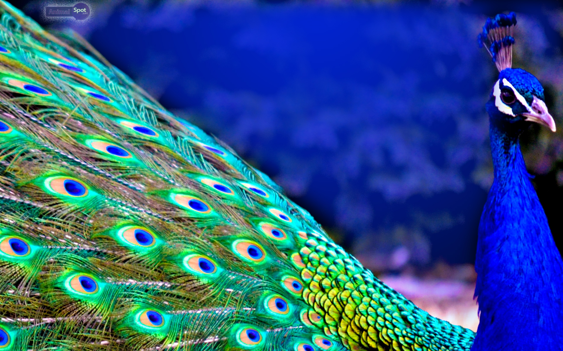 Peacock wallpapers - photo#8