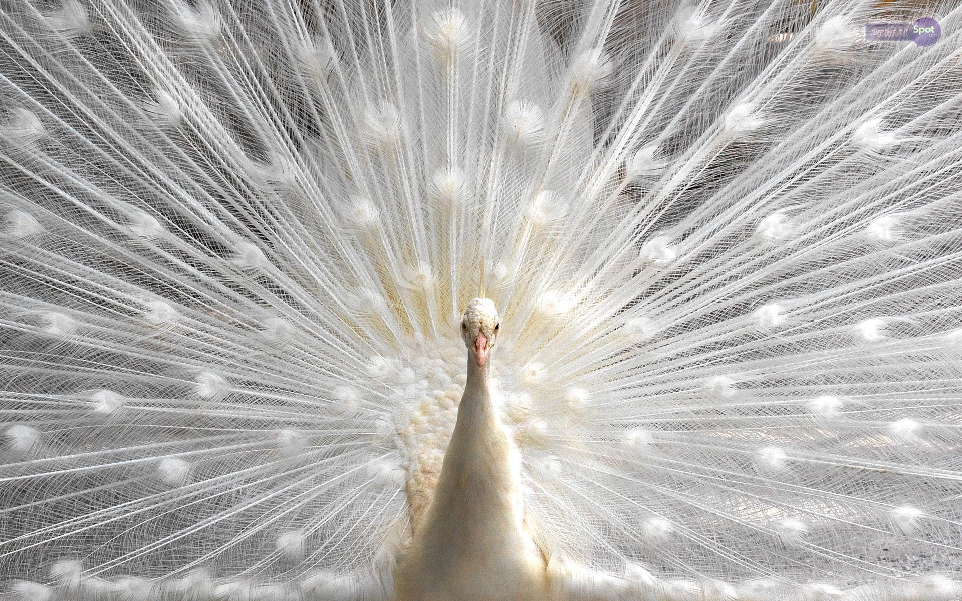 Peacock Wallpapers Animal Spot