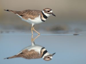 Killdeer Pictures