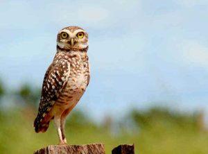 Brazilian Burrowing Owl