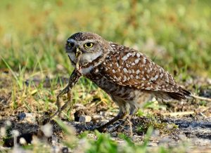 Burrowing Owl Eating