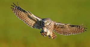 Burrowing Owl Flying