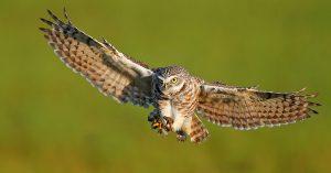 Burrowing Owl Flying