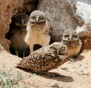 Burrowing Owl Habitat
