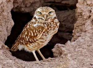 Burrowing Owl Images