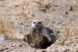 Burrowing Owl Nest