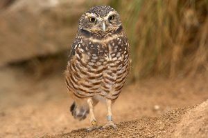 Burrowing Owl Photos