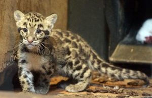 Clouded Leopard Cubs Pictures