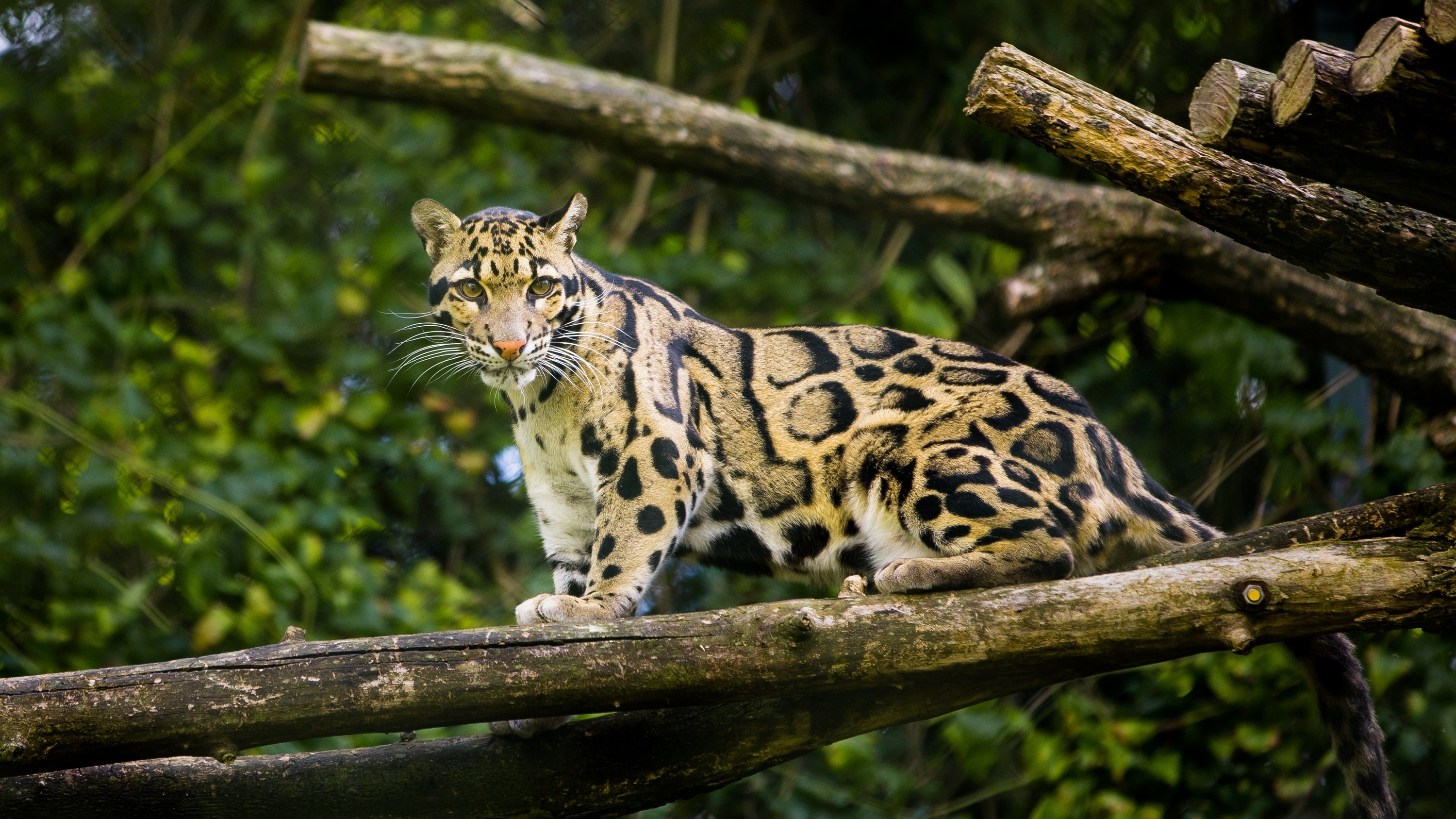 Bornean Clouded Leopard Teeth Clouded Leopard Inform...