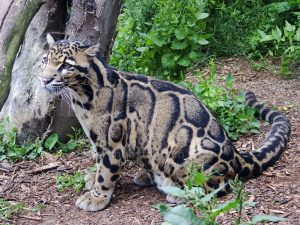 Clouded Leopard Pictures