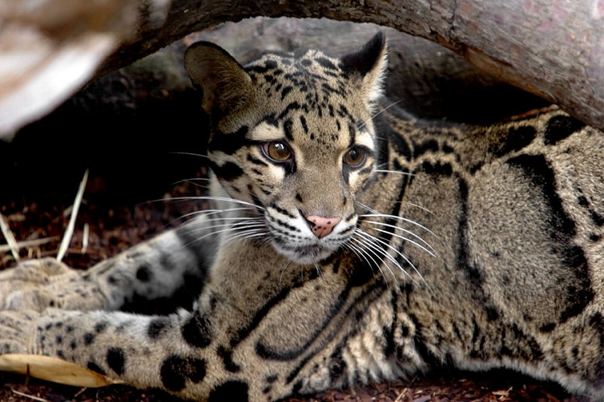 Clouded Leopard Information Facts