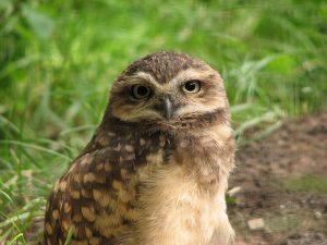 Hispaniolan Burrowing Owl