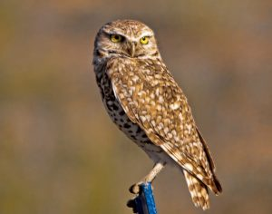 Images of Burrowing Owl