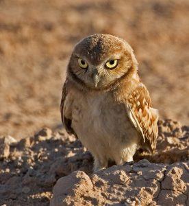 Pictures of Burrowing Owl