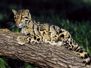 Pictures of Clouded Leopard
